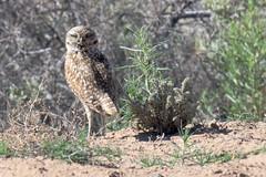 Burrowing Owl (Athene cunicularia); Los Lunas, NM [Lou Feltz]