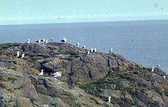 Pembrokeshire Islands Lecture Set. Overflow from 78 slide lecture to Brynteg.