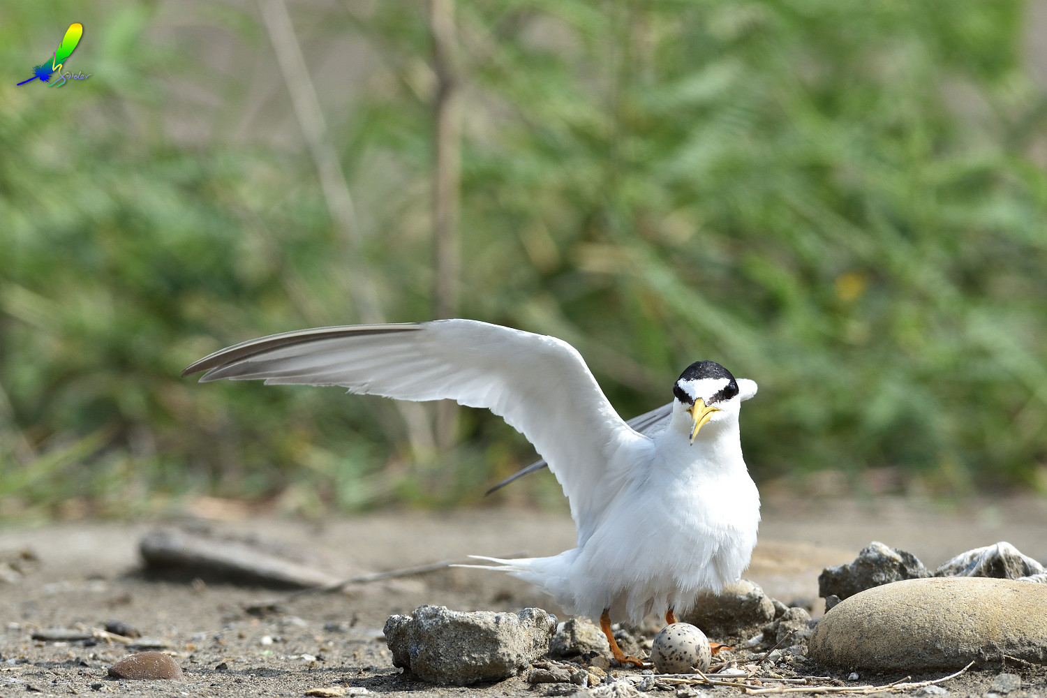 Little_Tern_6741