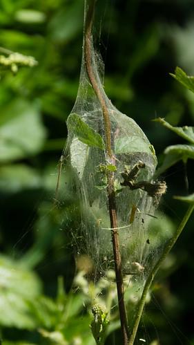 Spider nursery
