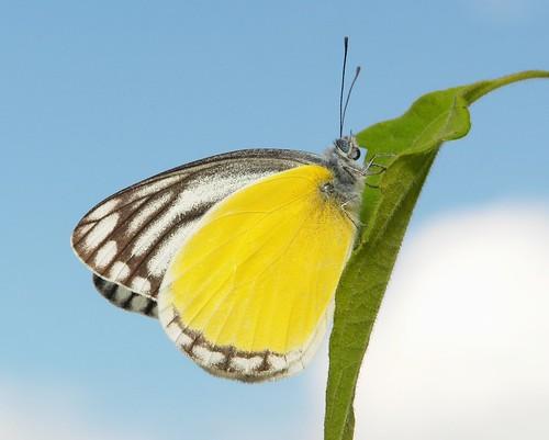 Yellow Jezebel (Delias agostina, Pieridae)