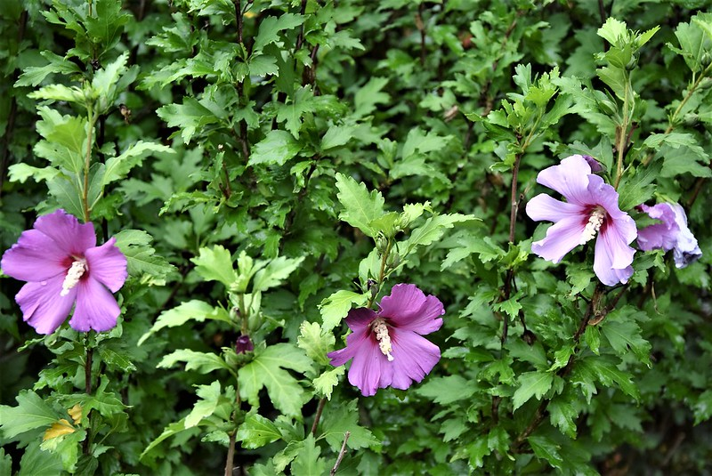 Hibiscus 10.07 (4)