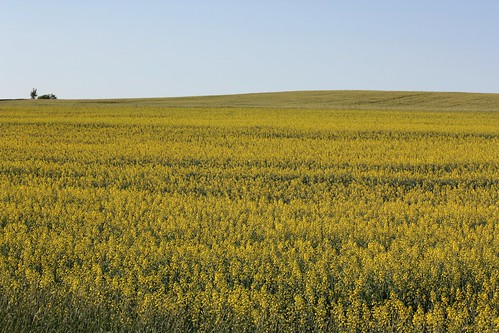 summerfield pei canada field yellow mustard