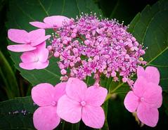 Hydrangea, Pink