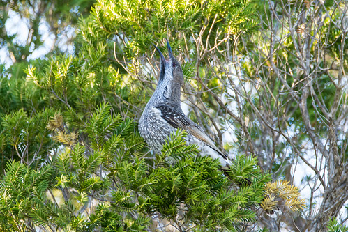 Western Wattlebird (Anthochaera lunulata) calling