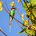 Blue-throated Bee-eater (Trevor Platt)