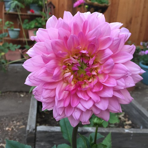 dahlias etc