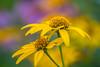 Yellow flower by Erinn Shirley