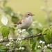 Female Whitethroat by Willbury not about much.