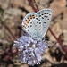 Small photo of Acmon Blue Icaricia acmon