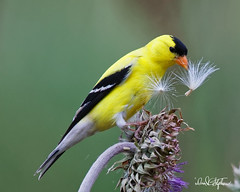 Goldfinch Enjoys Thistle