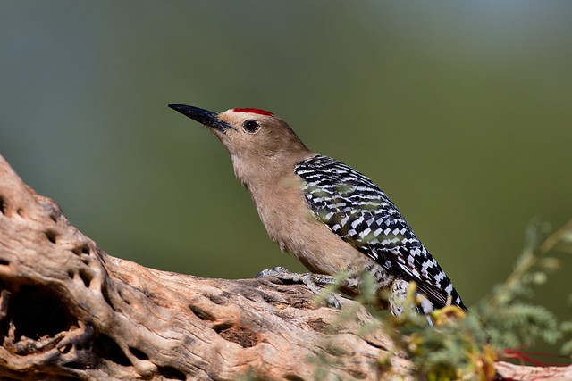 Gila Woodpecker, Canon EOS 5DS, Canon EF 600mm f/4L IS
