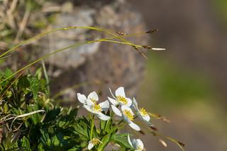 岩壁に咲くハクサンイチゲ