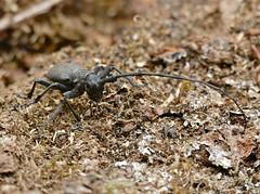 Longhorn Beetle (Morimus asper) on deadwood ...