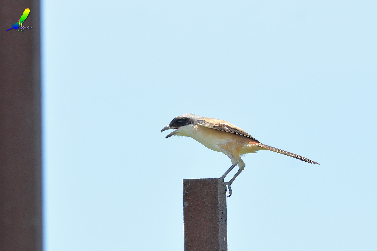 Long-tailed_Shrike_8414
