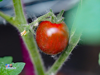 Chocolate Sprinkles  Cherry Tomato