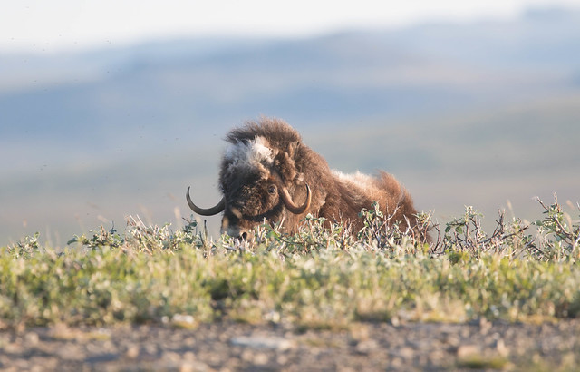 Muskox 3, Canon EOS 7D MARK II, Canon EF 400mm f/4 DO IS
