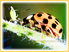 Harmonia axyridis (Asian Lady Beetle, Harlequin, Multicoloured Asian Beetle) feeding its prey, 14 July 2017