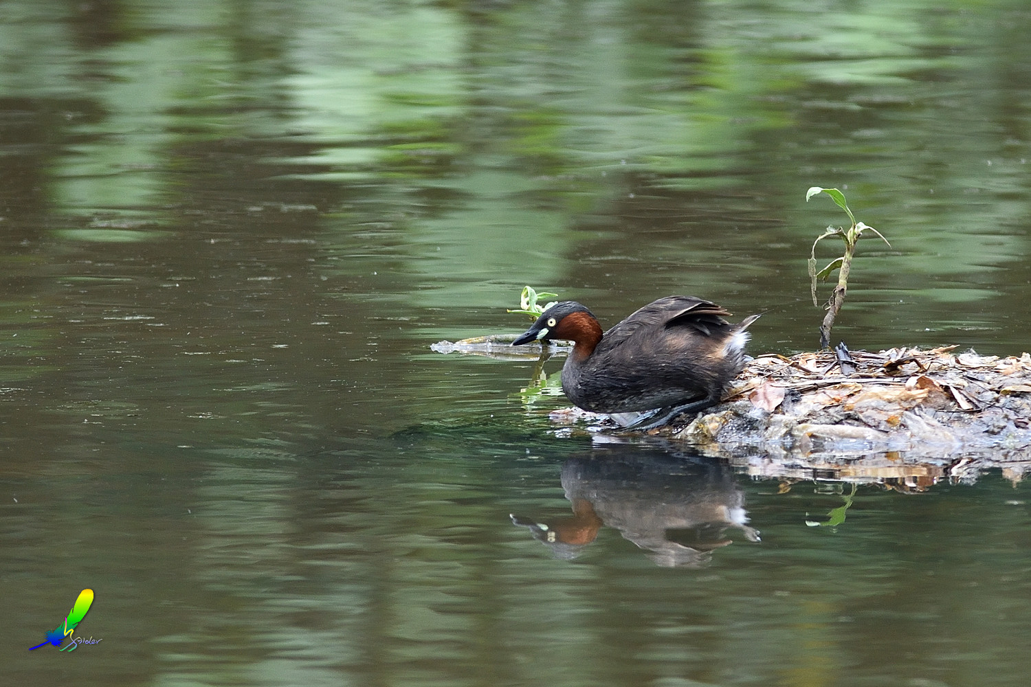 Little_Grebe_5762
