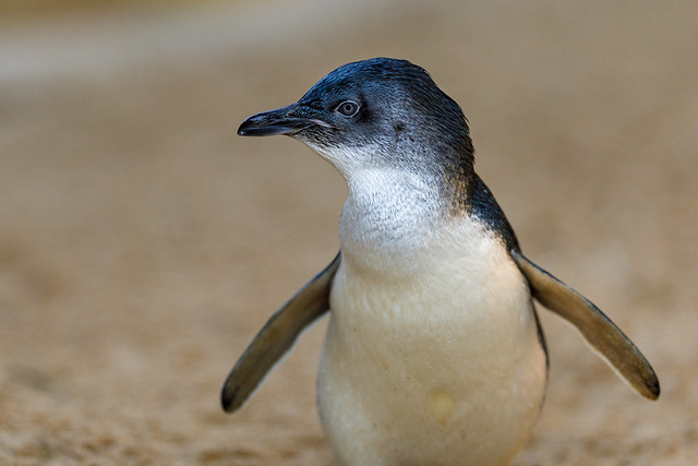 Profile of a Little Penguin