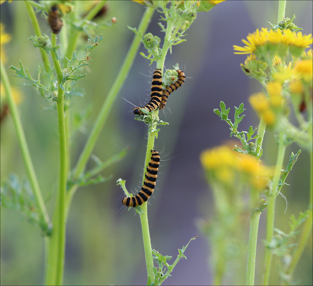 Cinnabar moth caterpillars on, Canon EOS 650D, Canon EF 70-200mm f/4L IS