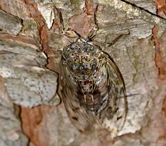 Grey Cicada (Cicada orni)