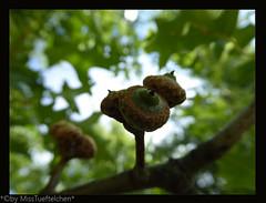 Quercus palustris- Sumpfeiche
