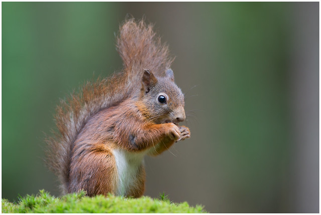 Red Squirrel - de, Canon EOS 5D MARK III, Canon EF 500mm f/4L IS