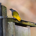 Prothonotary Warbler investigating nest box