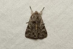 Lacinipolia patalis - Hodges # 10423 - Everett, WA
