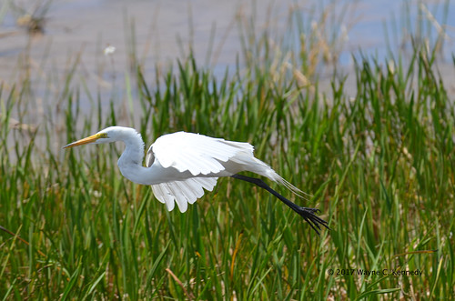 Great Egret in flight at Orlando Wetlands