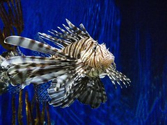 Lionfish at Georgia aquarium