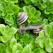 Brown-lipped garden snails (5) by .JCM.