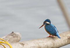 Lesser Blue Kingfisher (Alcedo atthis)