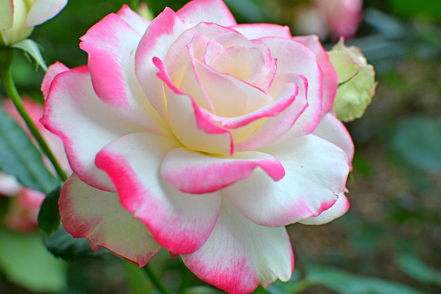 Rose ( Cherry Parfait rose )