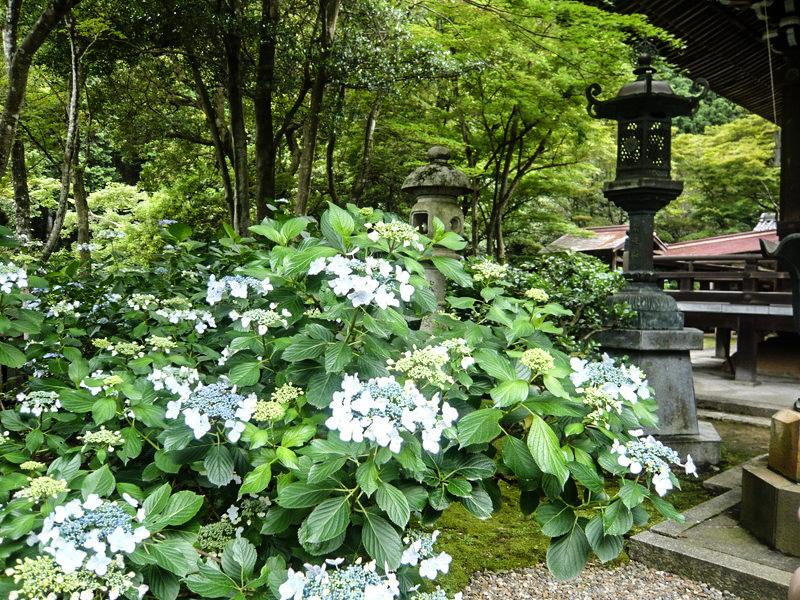 柳谷観音の奥の院 白の紫陽花