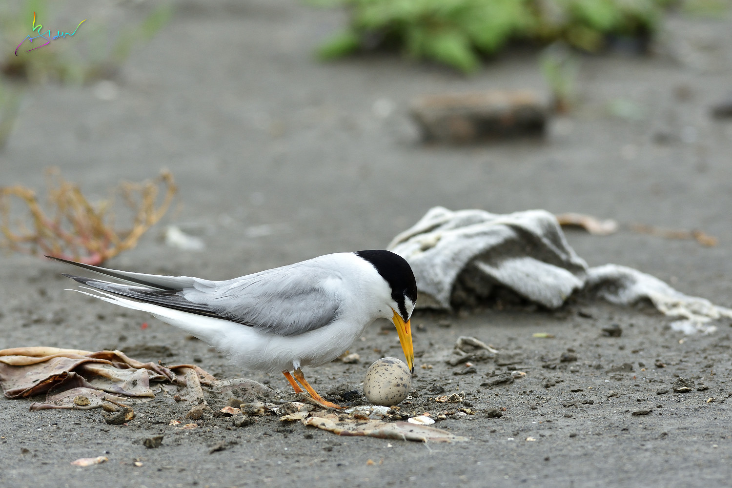 Little_Tern_3848