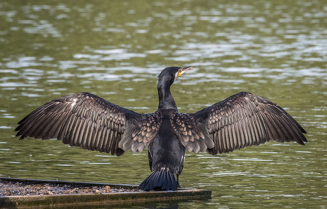 Cormorant drying its wings, Canon EOS 70D, Sigma 150-600mm f/5-6.3 DG OS HSM   C