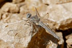 Keeled Skimmer (Orthetrum coerulescens) female
