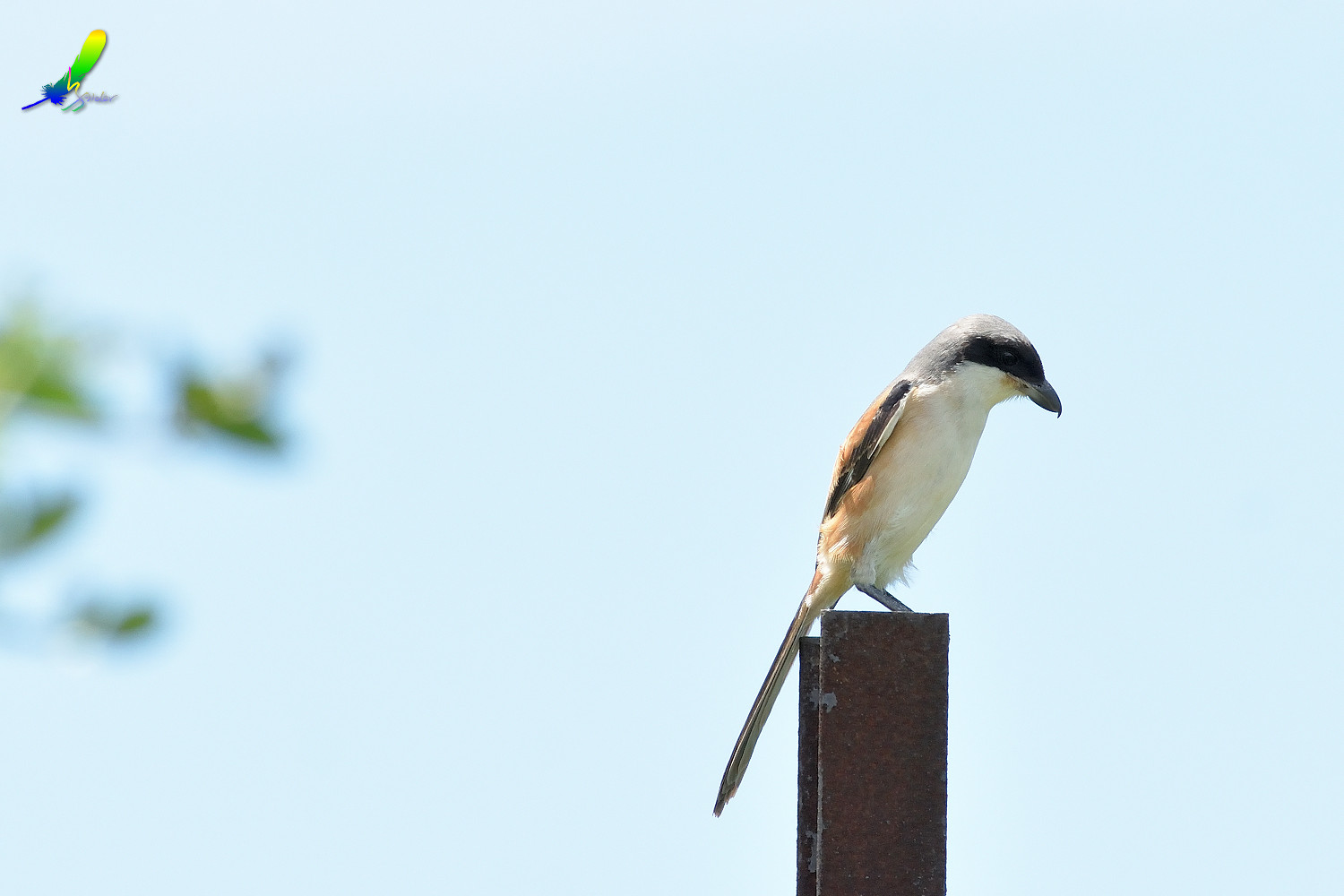 Long-tailed_Shrike_8480