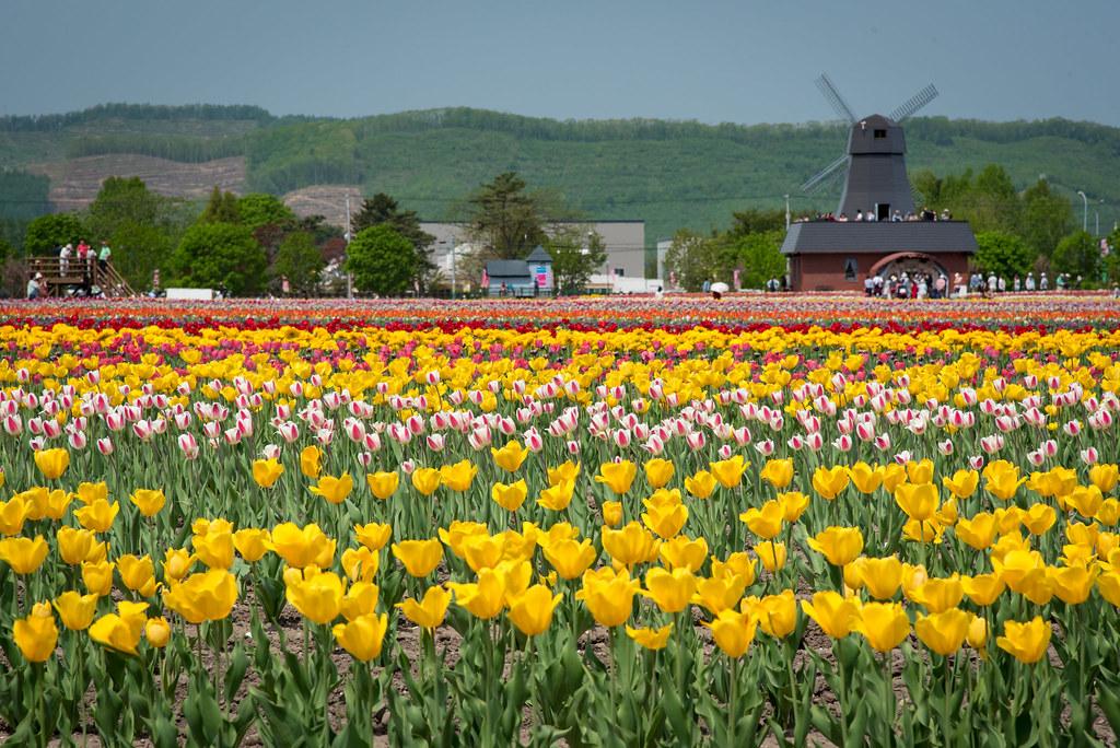 Tulip Park at Hokkaido