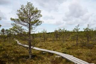 Pine tree along the Great Kemeri Bog