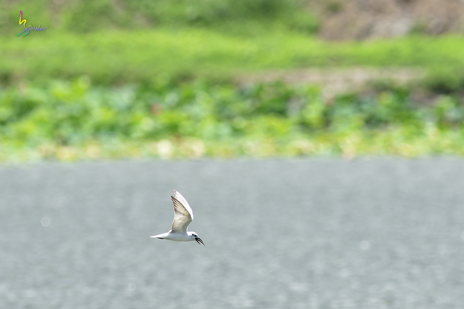 Whiskered_Tern_5077