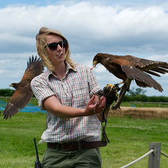 Harris's Hawks Eating Chicken