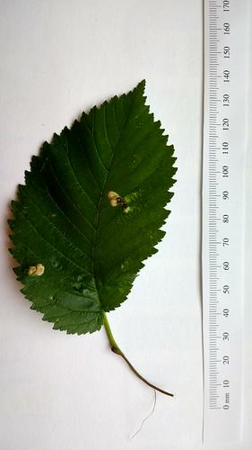 Ulmus leaf