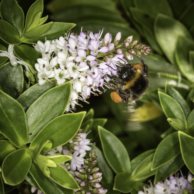 Bumblebee, Nikon D810, AF Micro-Nikkor 200mm f/4D IF-ED