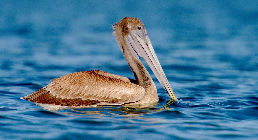 Pelican_50