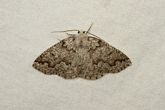 Enypia packardata (Packard's Girdle Moth) - Hodges # 7007 - Everett, WA