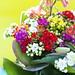 Kunterbunte Kalanchoe-Blüten