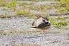Killdeer preening